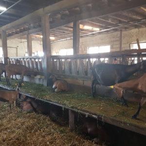 Les chèvres de la fromagerie